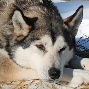 Mooneye Sleddogs